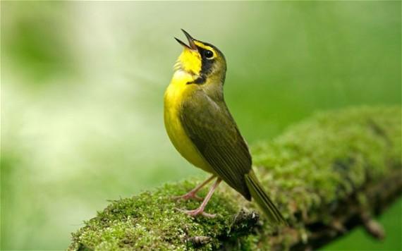 Risultati immagini per uccello canterino